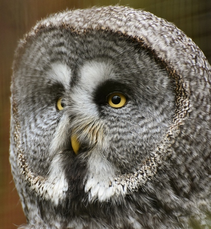 Close-up portrait of a Great Grey Owl (Strix nebulosa), the worlds largest owl species.