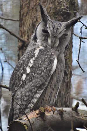 A southern white-faced owl (Ptilopsis granti), a grey owl species native to Africa.