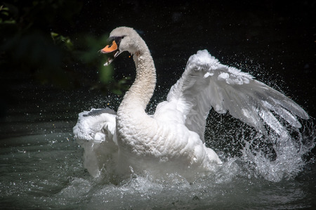 volatile: Swan in water while attacking
