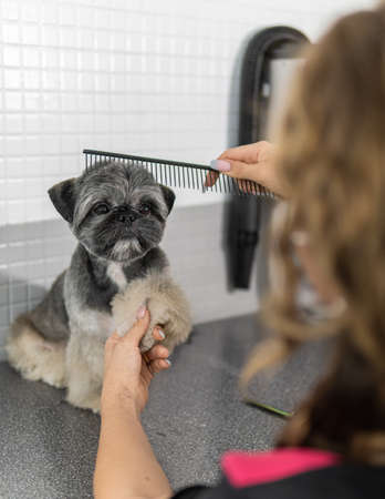 Beautiful Shih Tzu breed dog in canine grooming treatment, giving the paw to the worker who is using a comb