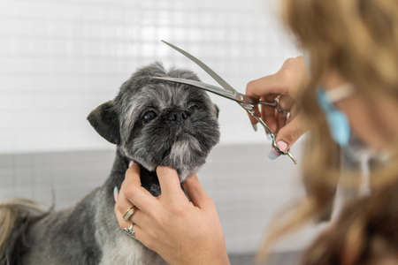 Hairstyle or haircut treatment with groomer scissors to a gorgeous Shih Tzu breed dog undergoing canine grooming treatment Banque d'images