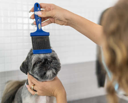 Use of the hairbrush in dog grooming treatment, to a small and beautiful dog of the Shih Tzu breed Banque d'images