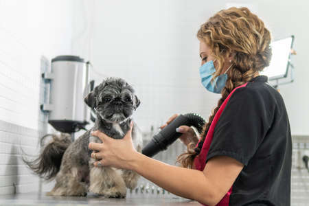 Using a hair dryer to care for a Shih Tzu puppy after a bath, in a veterinary clinic or dog grooming salon