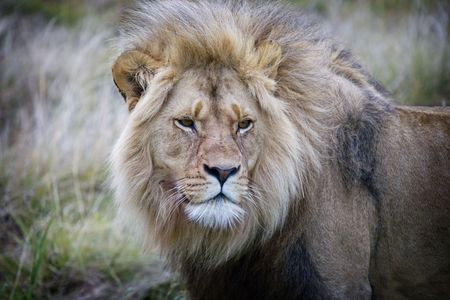 Close up of a lion in South Africa photo