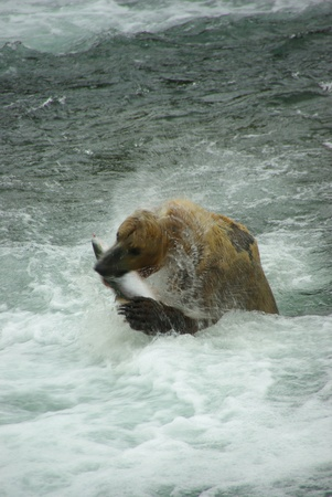 Grizzly Bear Fishing Stock Photo - 10220125