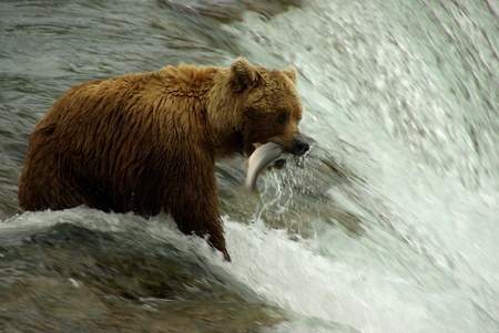 Grizzly Bear Fishing Stock Photo - 10220121