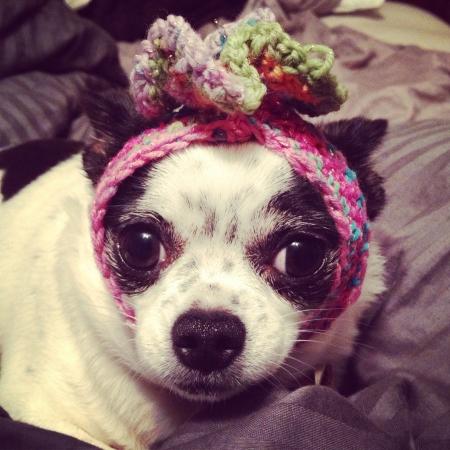 Chihuahua in crochet flower headband Stok Fotoğraf - 22213368