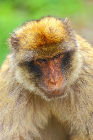 The Barbary macaque from Gibraltar rocks Stock Photo - 12473610