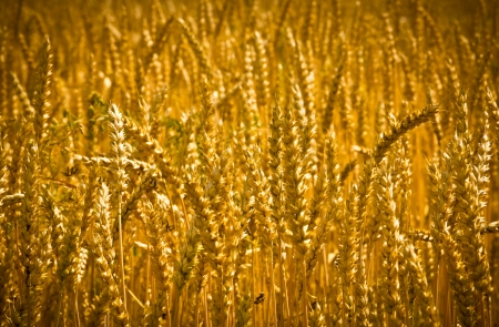 Golden wheat field background photo