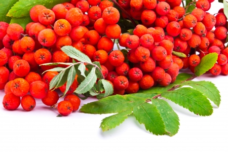 A branch of rowanberries isolated on white background