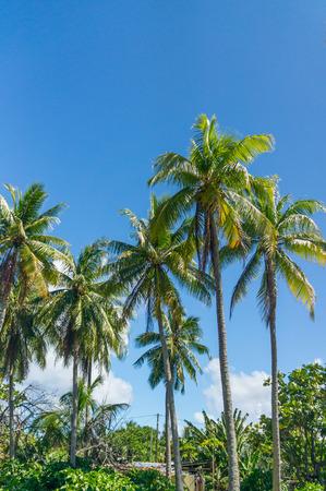 polynesia: Beautiful palms from Rangiroa atoll, French Polynesia Stock Photo