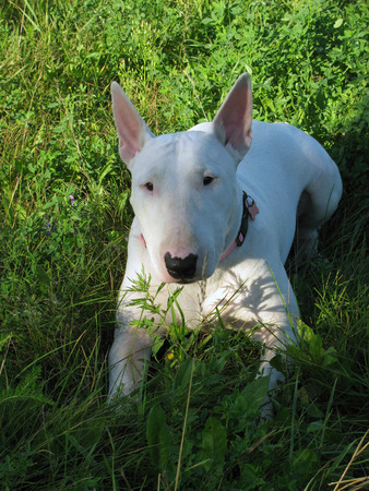 English bull Terrier walks outdoors in the summer photo