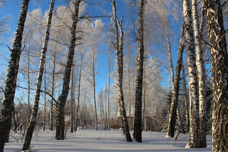 Beautiful snowy forest cold winter in December photo