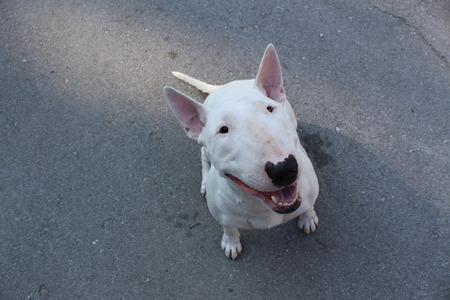 bull terrier: English bull Terrier walks outdoors in the summer