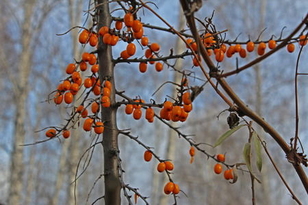 buckthorn: Branch with sea buckthorn in the fall