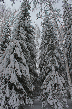 december: Beautiful snowy forest cold winter in December Stock Photo