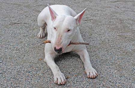 kampfhund: White English Bull Terrier Kauen auf einem Stock