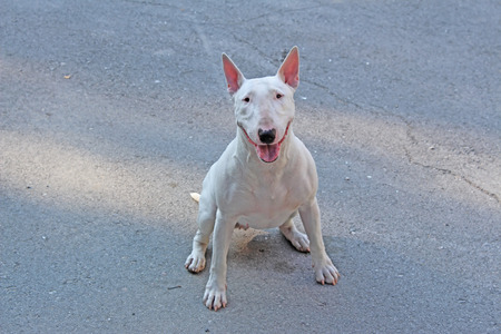 kampfhund: Englisch Bull Terrier Spaziergänge im Freien im Sommer Lizenzfreie Bilder