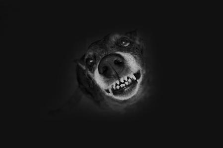 kampfhund: Grau Sch�fer grins Lizenzfreie Bilder