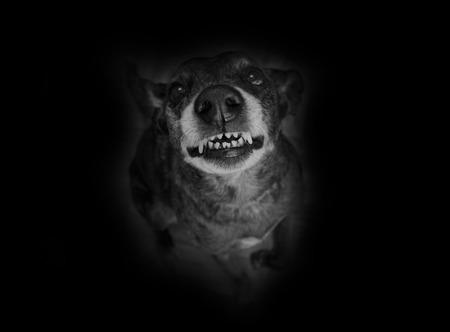black and white pit bull: Grey shepherd grins