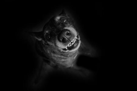 spite: Grey shepherd grins