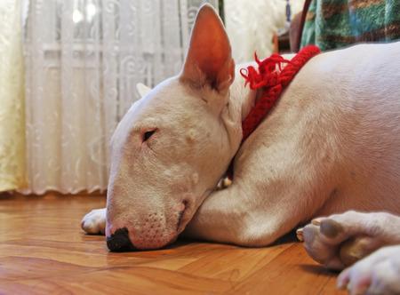 kampfhund: Englisch Bull Terrier schläft auf dem Boden