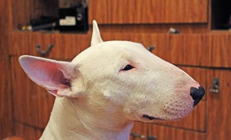 kampfhund: Englisch Bull Terrier