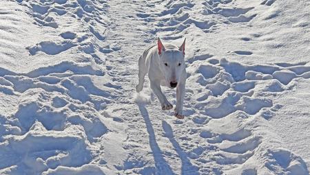 friendliness: White Bull Terrier camina en el invierno en la naturaleza Foto de archivo