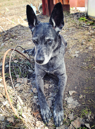 watchdog: Grey watchdog with different eyes