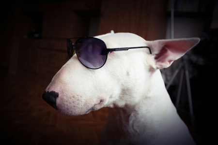 kampfhund: White English bull Terrier in sunglasses