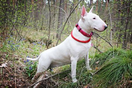 kampfhund: Wei� Bullterrier auf die Natur
