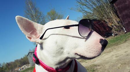 kampfhund: Wei� Englisch bullterrier in den Sonnenbrillen Lizenzfreie Bilder