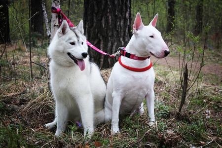 kampfhund: Bullterrier und Siberian Husky auf die Natur Lizenzfreie Bilder
