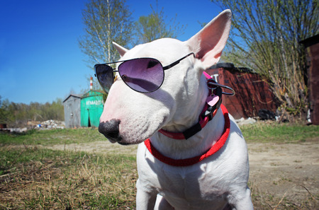 pit fall: White English bullterrier in sunglasses