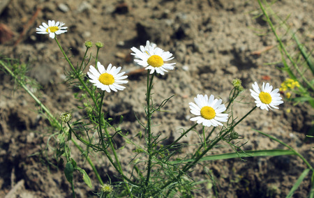 small field: A small field of daisies Stock Photo
