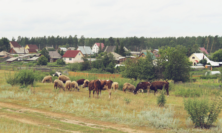 agro: Cows and sheep grazing in the village