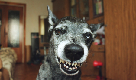 grins: Grey shepherd grins in the house Stock Photo