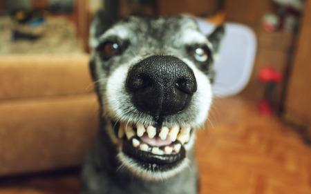 berger gris sourit dans la maison