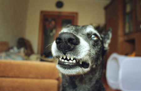 Grey shepherd grins in the house Stock Photo