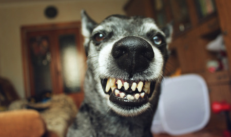 enraged: Grey shepherd grins in the house Stock Photo