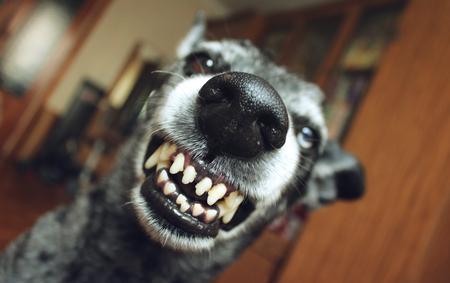 rabies: Grey shepherd grins in the house Stock Photo