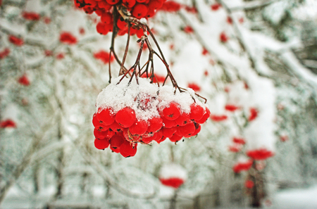 Rowan under the snow in cold winter