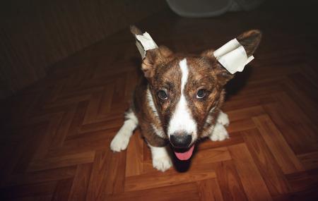 bandaged: Puppy Welsh Corgi Cardigan with bandaged ears Stock Photo