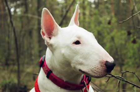 kampfhund: Weiß Bullterrier auf die Natur