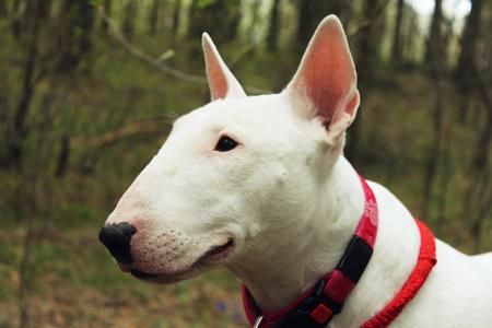 kampfhund: White Bullterrier on nature