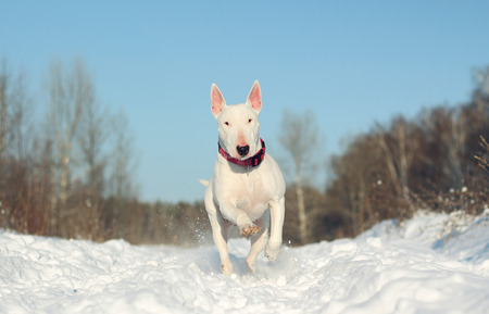 pit fall: White English Bull Terrier on nature in the winter Stock Photo