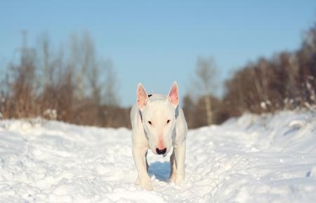 kampfhund: White English Bull Terrier auf die Natur im Winter Lizenzfreie Bilder