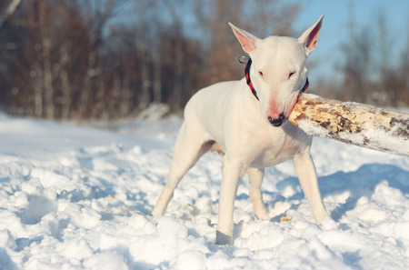 pit fall: White English Bull Terrier play with a stick on nature