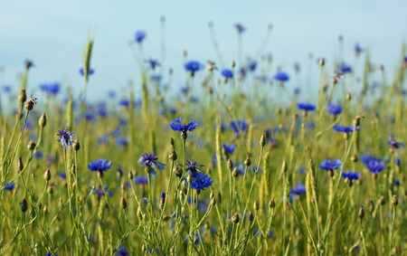 soulfulness: field with cornflowers and corn