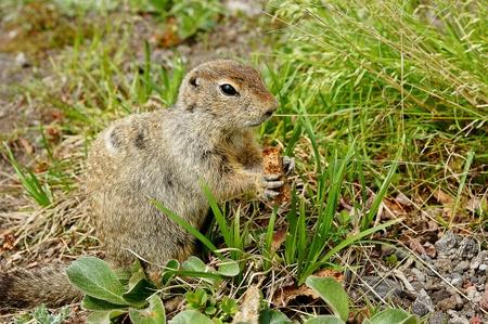 kamchatka marmot photo